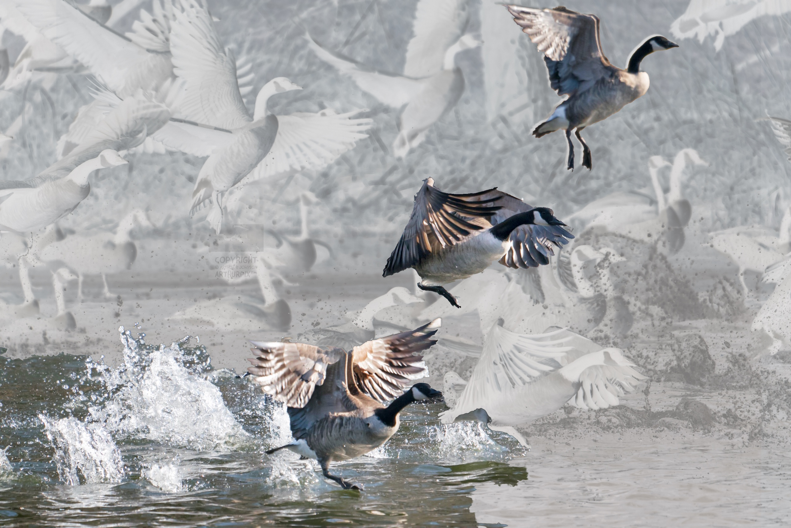 Canada geese flying skyward from the surface of a roiled pond.