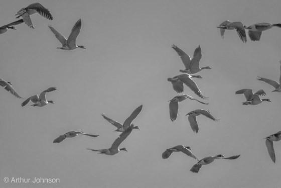 Canada Geese gaining altitude