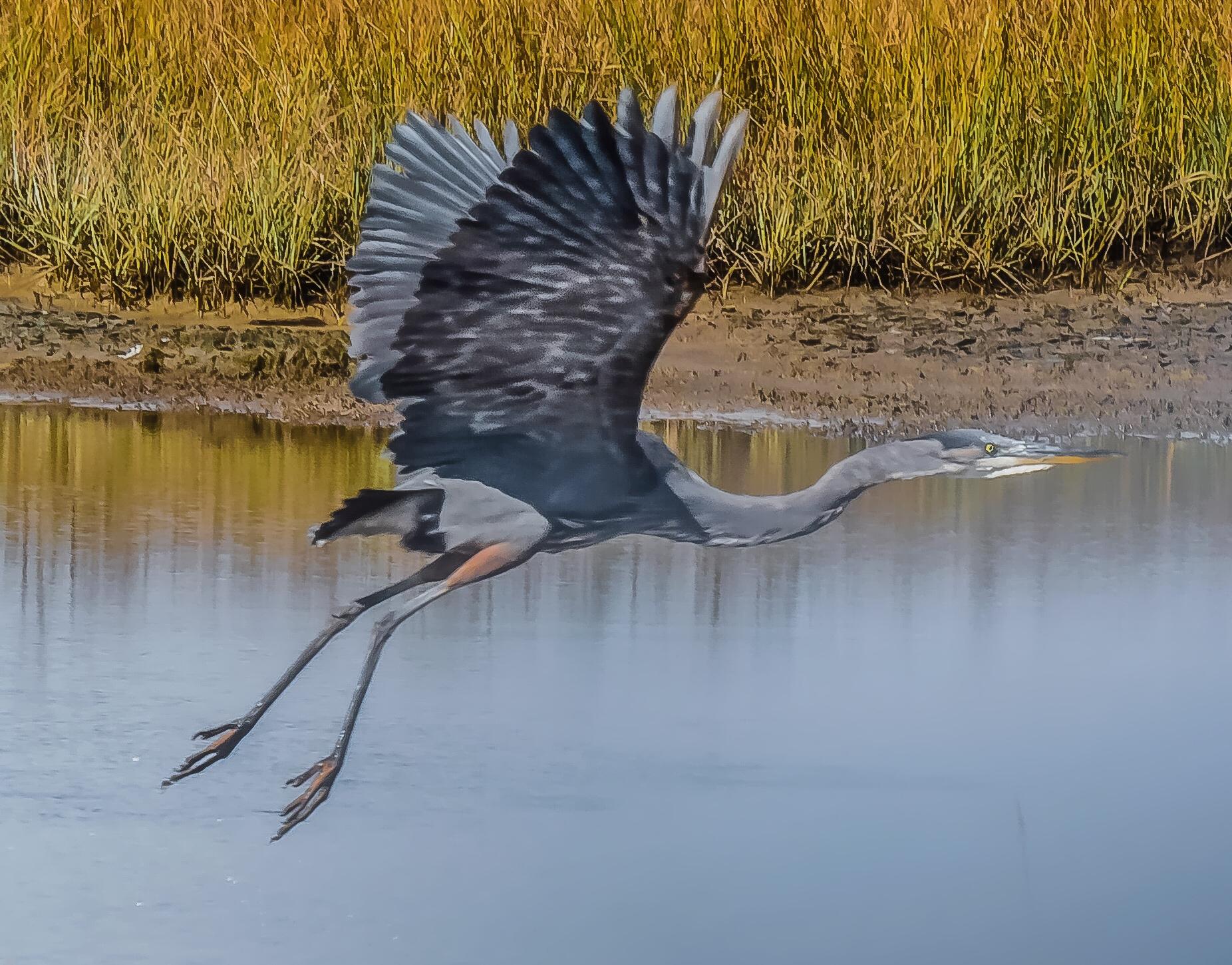 Little Blue Heron flyung over Salt Matsh with wings fully extended
