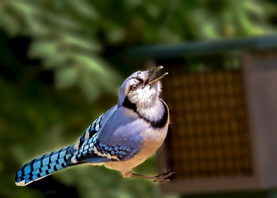 Blue Jay calling out as he lights upon a feeder.
