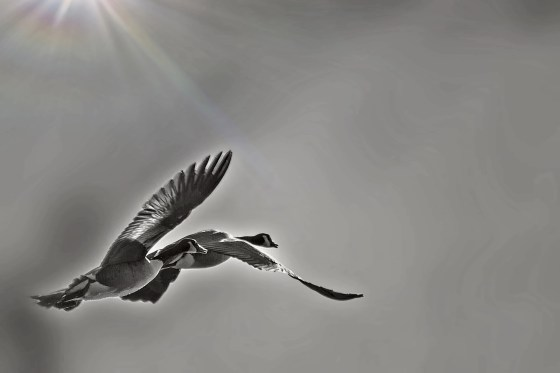 Two Canada Geese in flight.