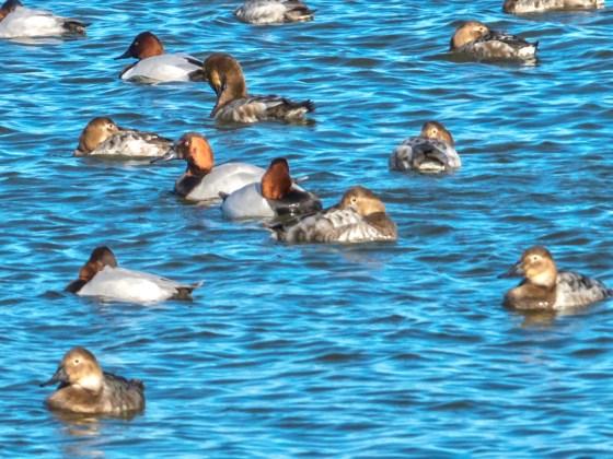 Male and Female Red Head Ducks