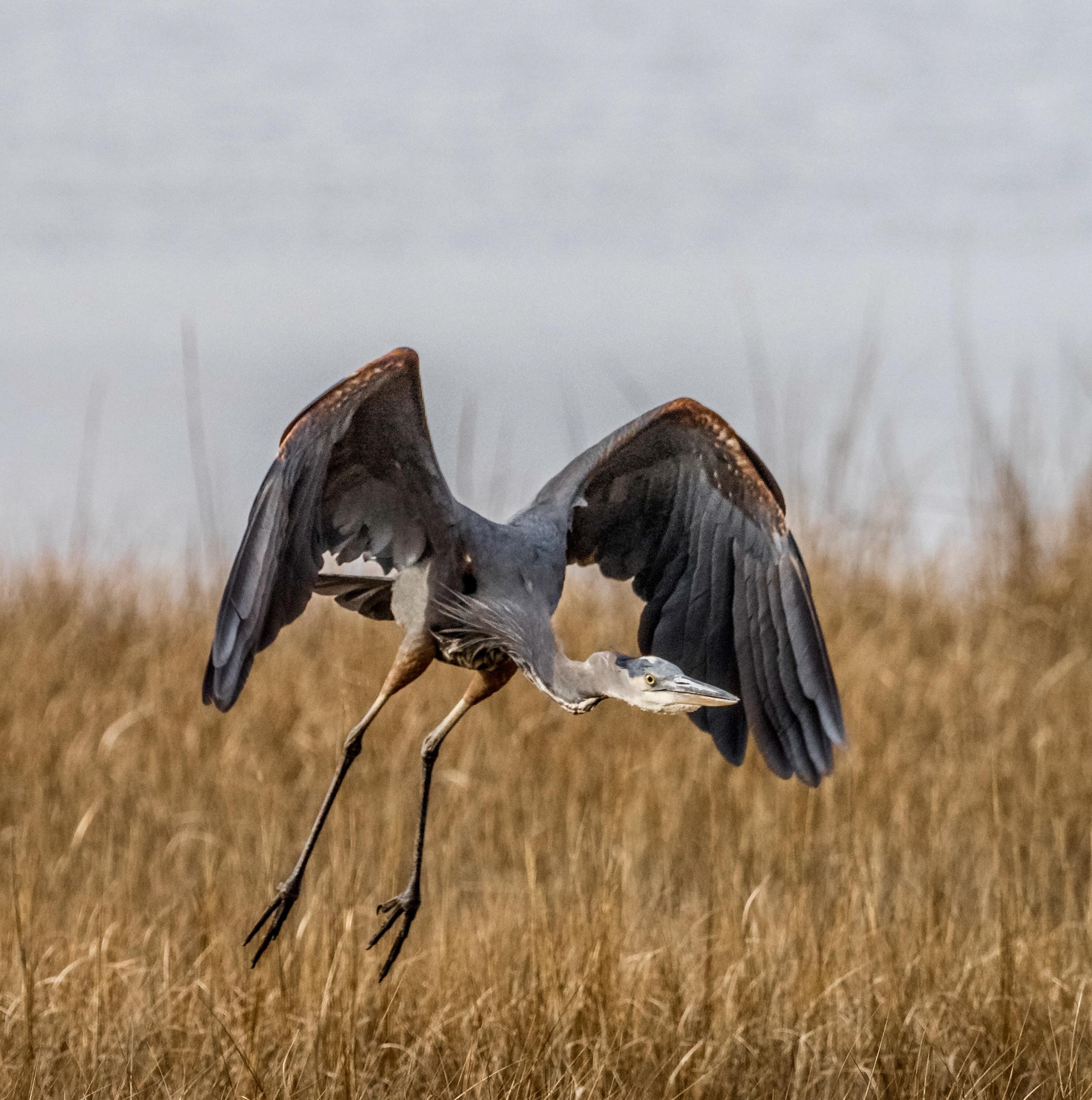 Little Blue Heron in Flight over Salt Marsh