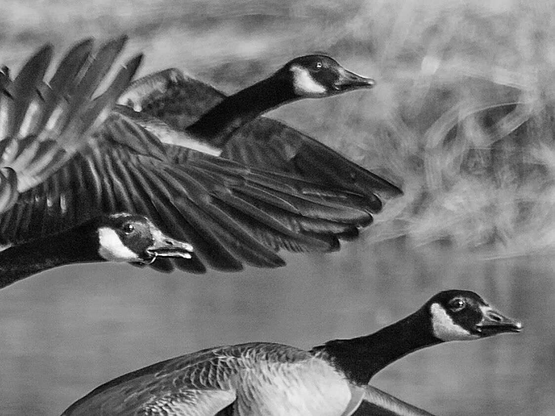 Canada Geese flying north.