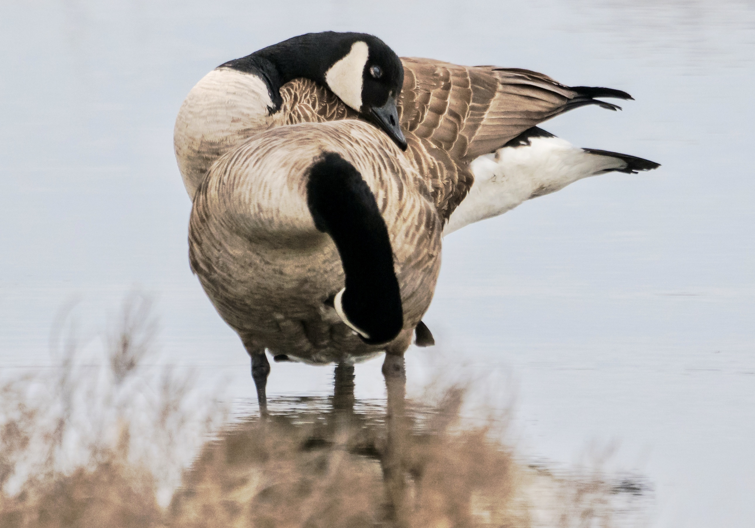 Canada Geese in a beautiful freeze-frame of their Mating Dance.