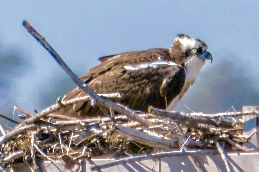 Mother Osprey on Nesting Platform