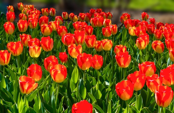 Bed of red and yellow tulips.