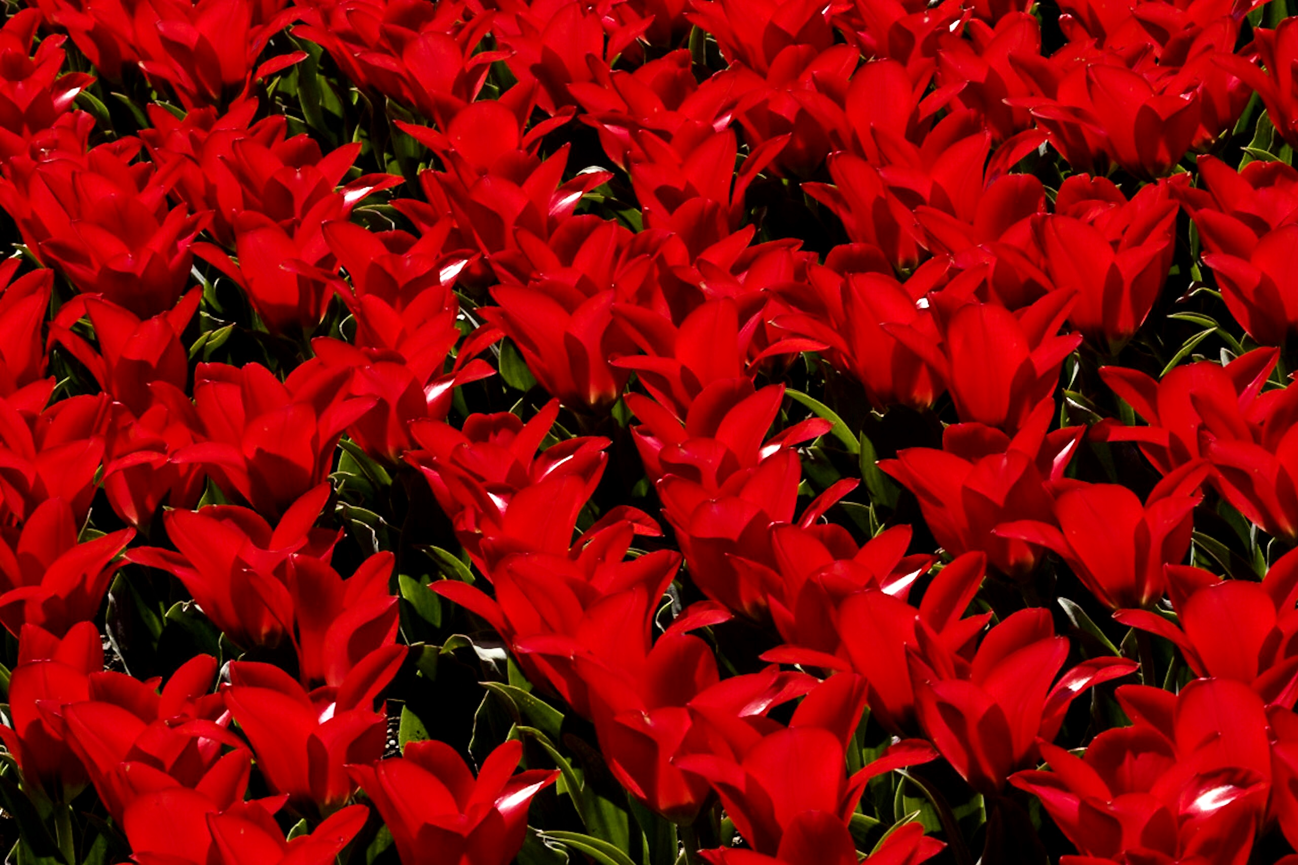 Bed of Sky High Scarlet tulips shot against the sun.