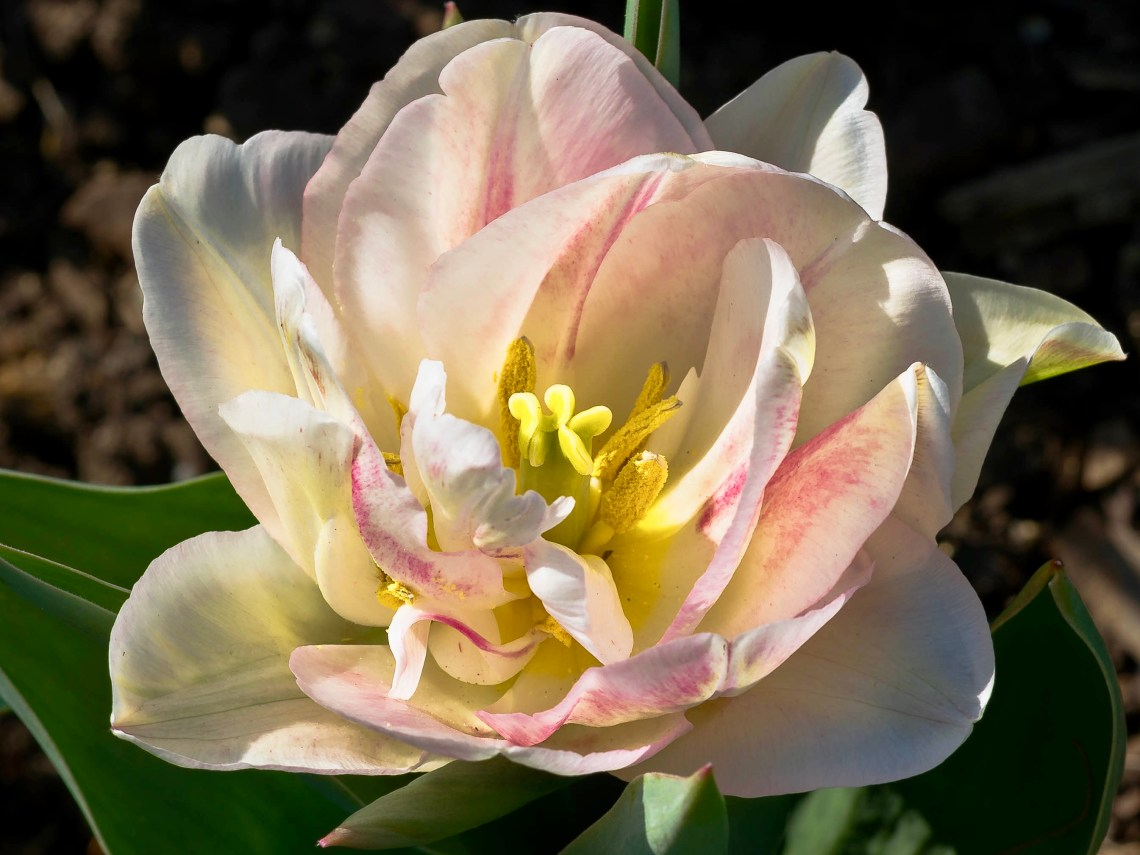 Pink and white tulip photographed ten days earlier.