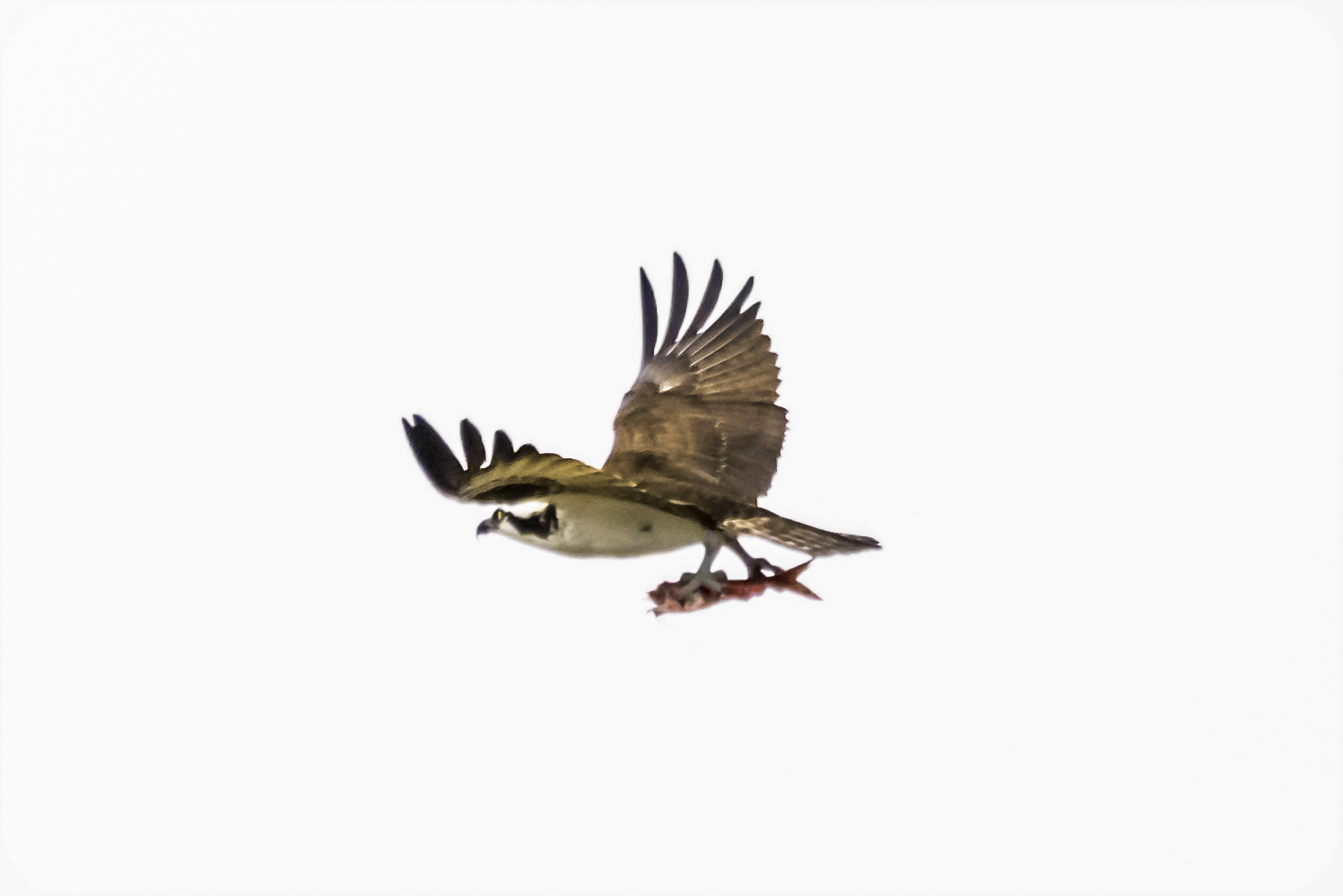 Osprey in flight, carrying a fish in its talons, arranged aerodynamically