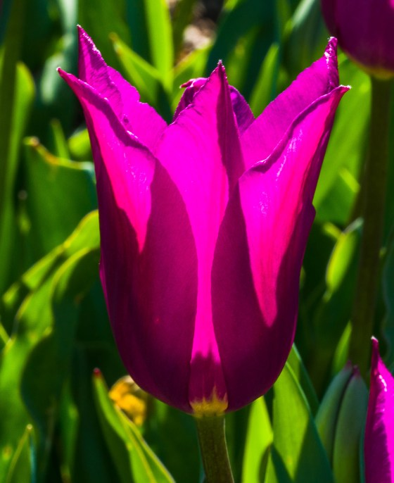Purple Lily Tulip lit by afternoon sun.