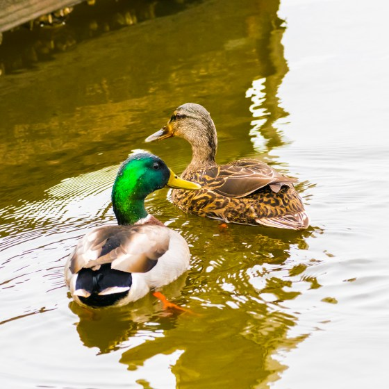 Male and female Mallard Ducks, swimming together in springtime