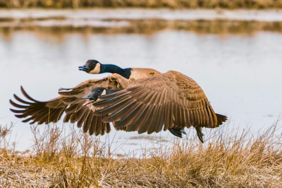 Two Canada Geese perming their Mating Dance