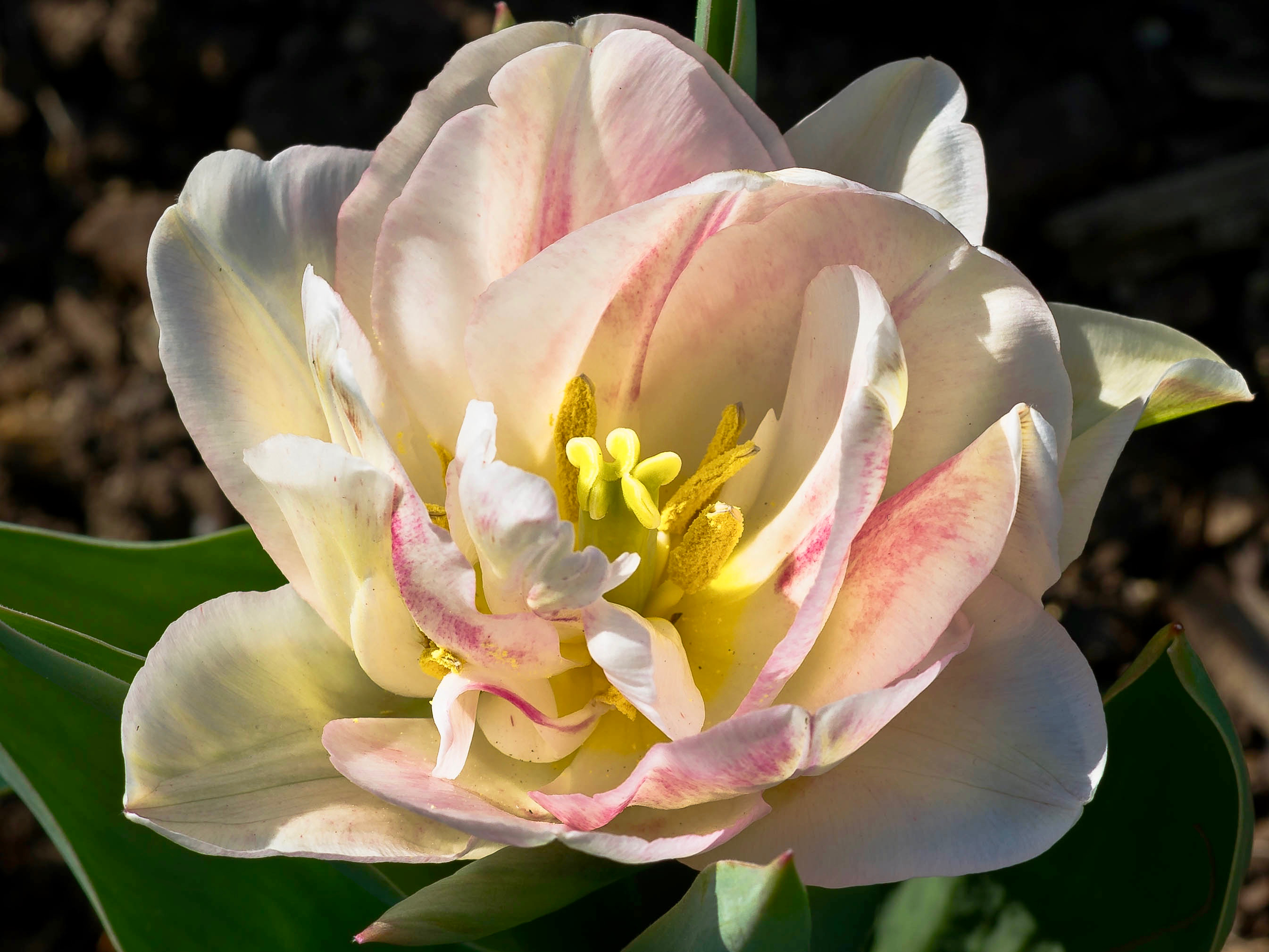 White Tulip Pale Pink Markings