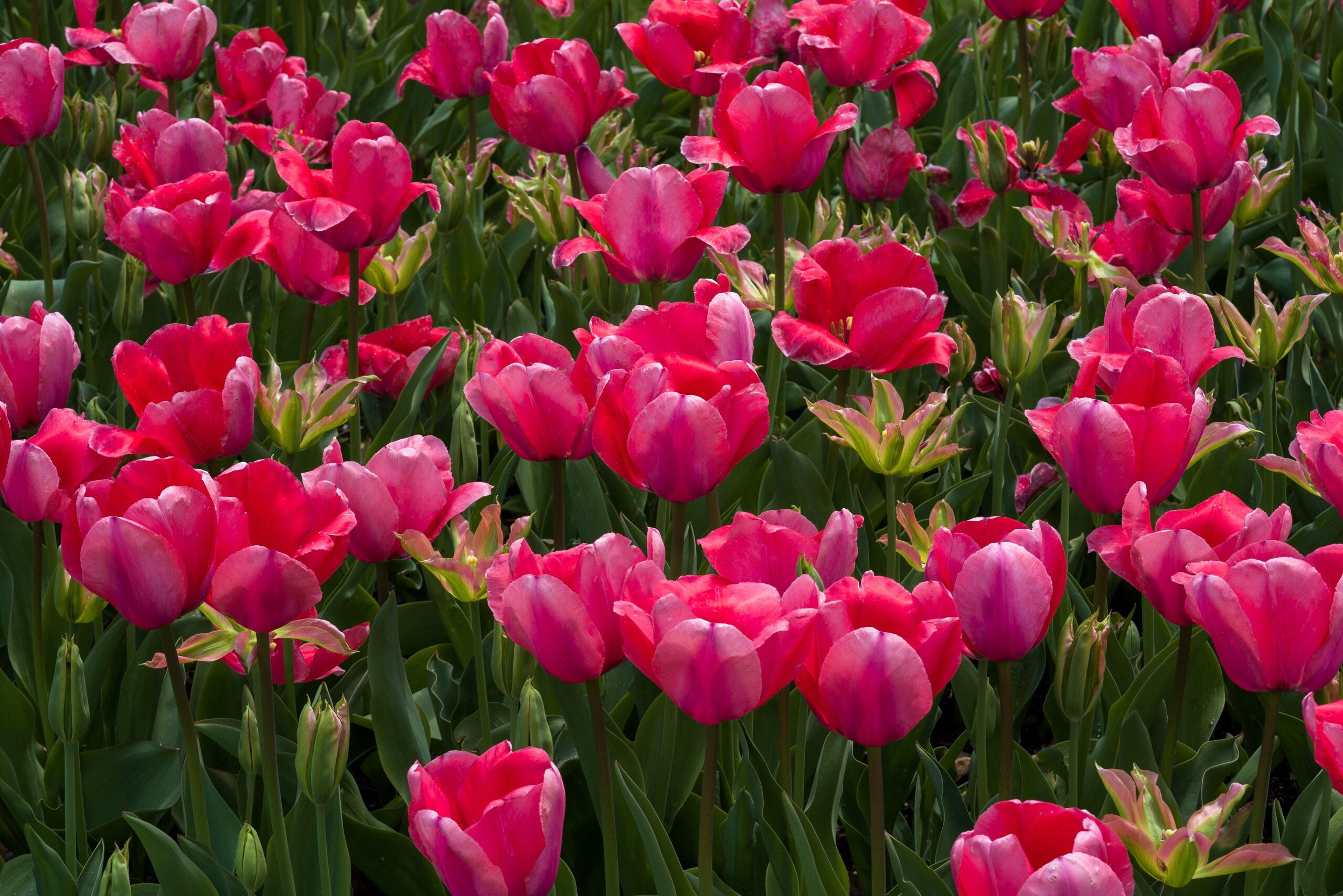 Pink and Green (yes, Green! Tulips