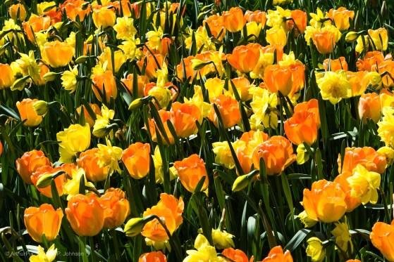 Orange Tulips and Yellow Daffodils.