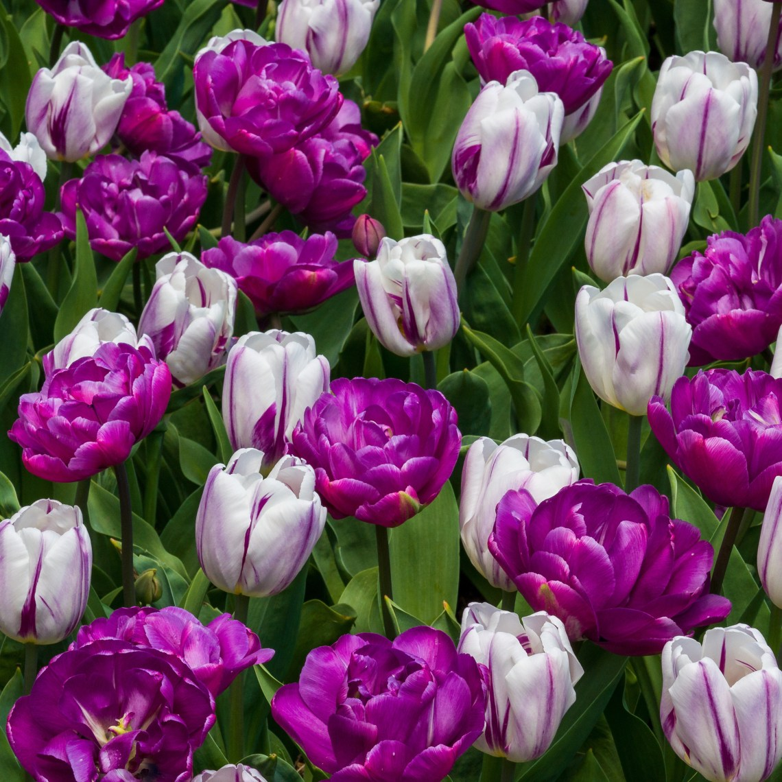 Purple Darwin Hybrid Tulips and Whites with Purple Stripes