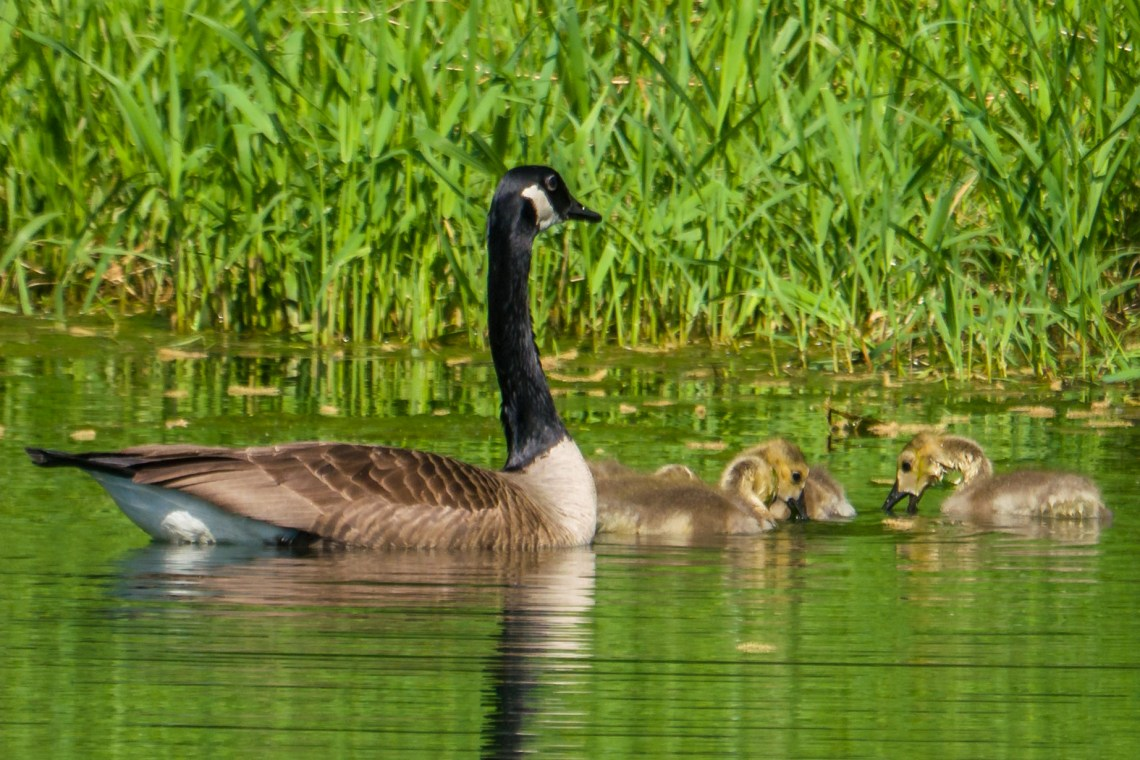 Fuzzy Goslings with Mother Goose.