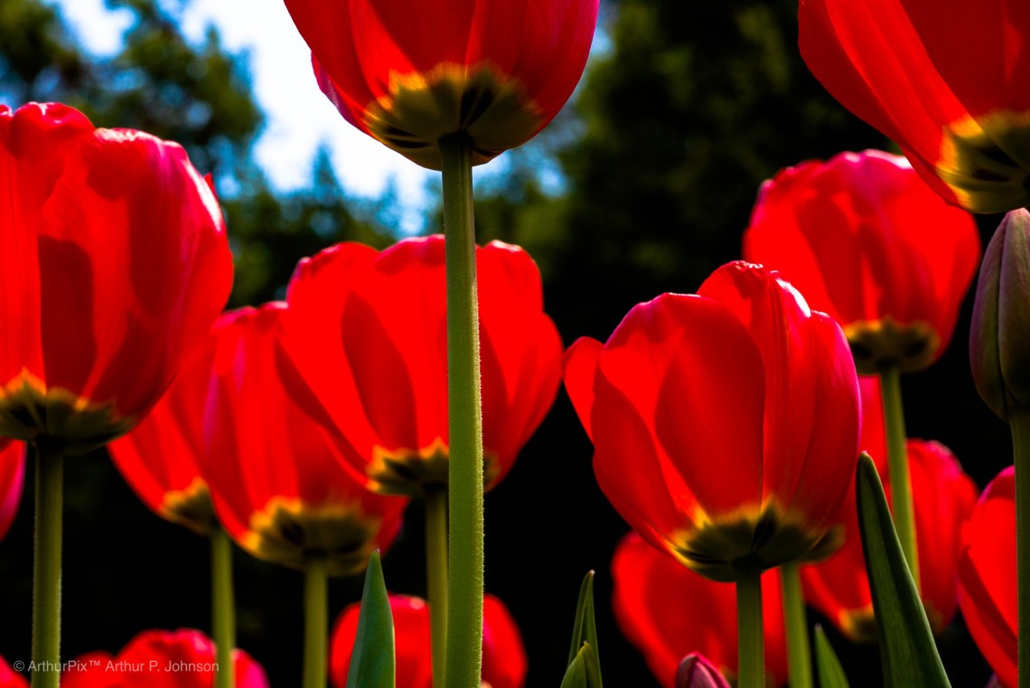 Red, yellow and black tulips, seem from beneath