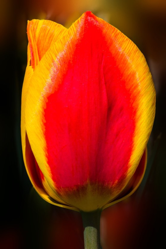 A flame of a red and yellow tulip!