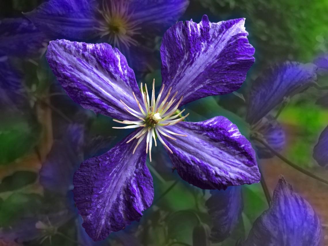 Purple Trailing Clematis
