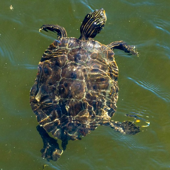 Painted Turtle Swimming Underwater in the Upper Delaware River