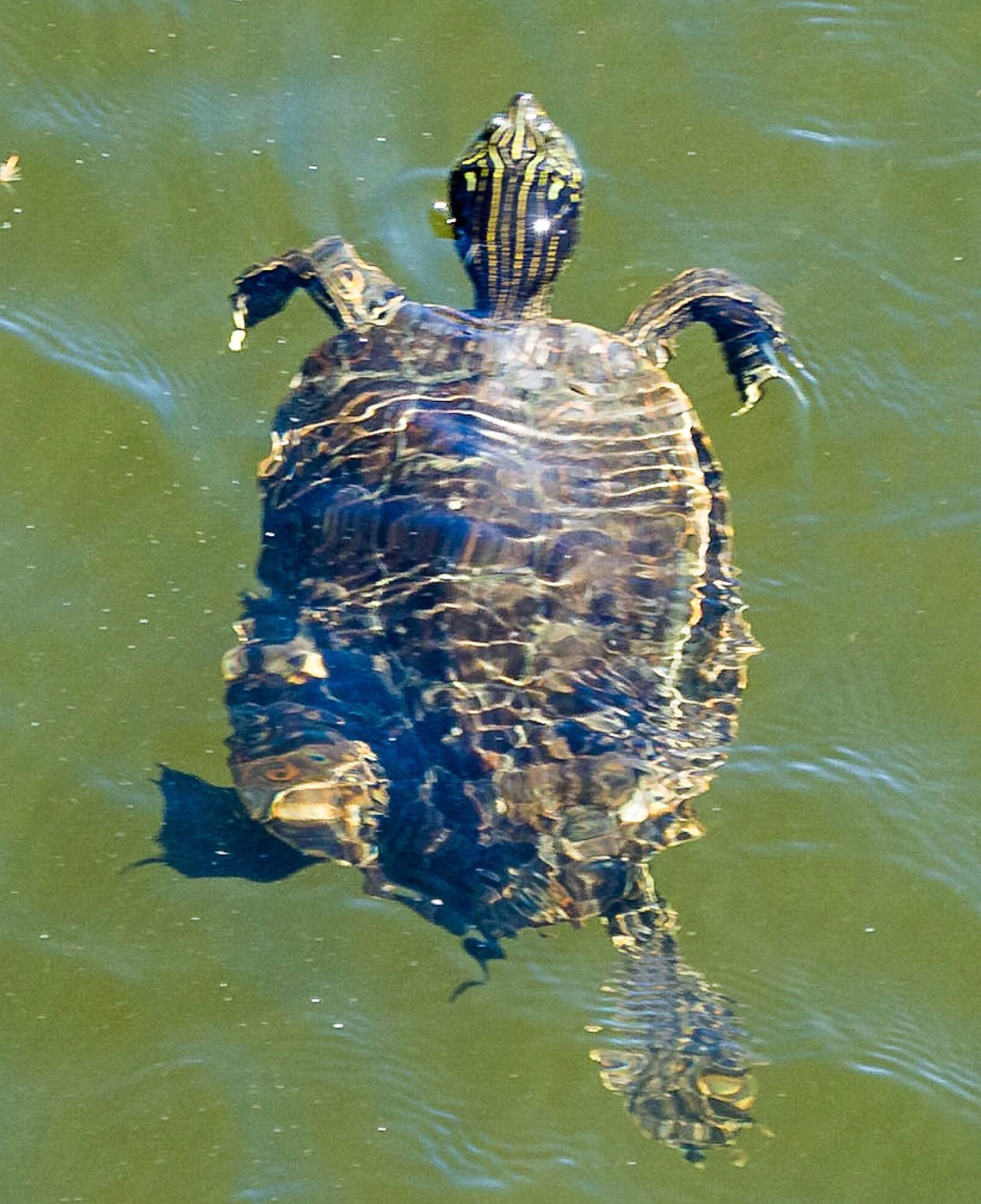 Painted Turtle Swimming Underwater