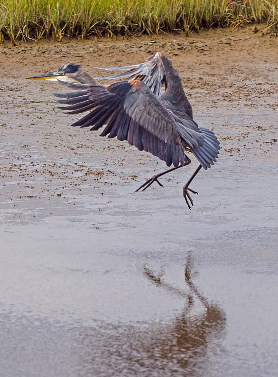 Little Blue Heron Landing