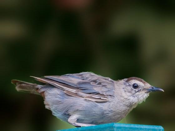Gray Catbird With Blue Plumage