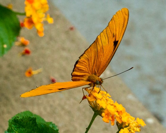 Dryas iulia Butterfly lighting on a golden posy.