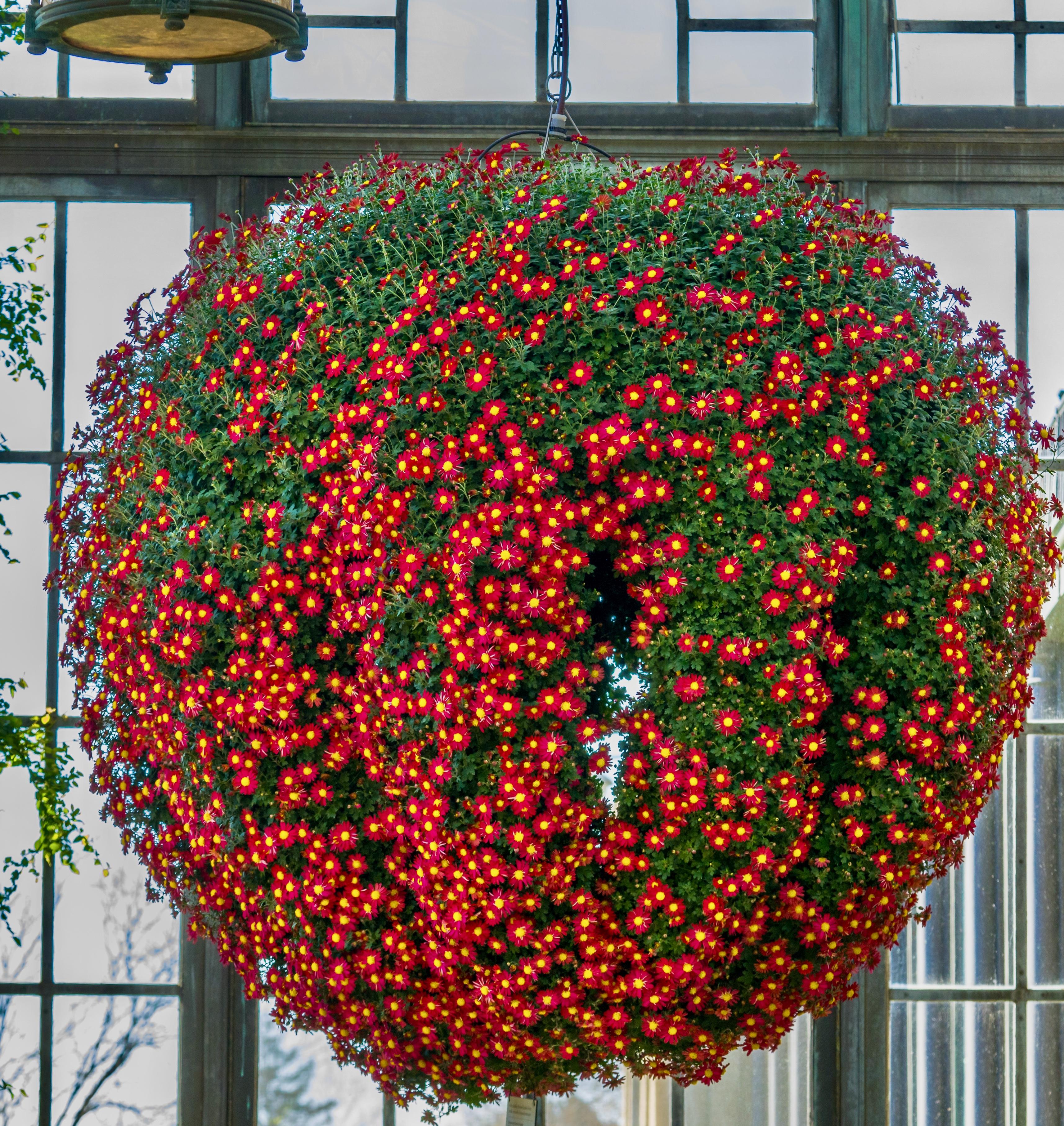 Chandelier of Chrysanthemums