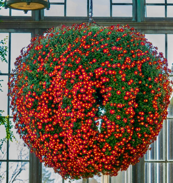 Chandelier of Chrysanthemums