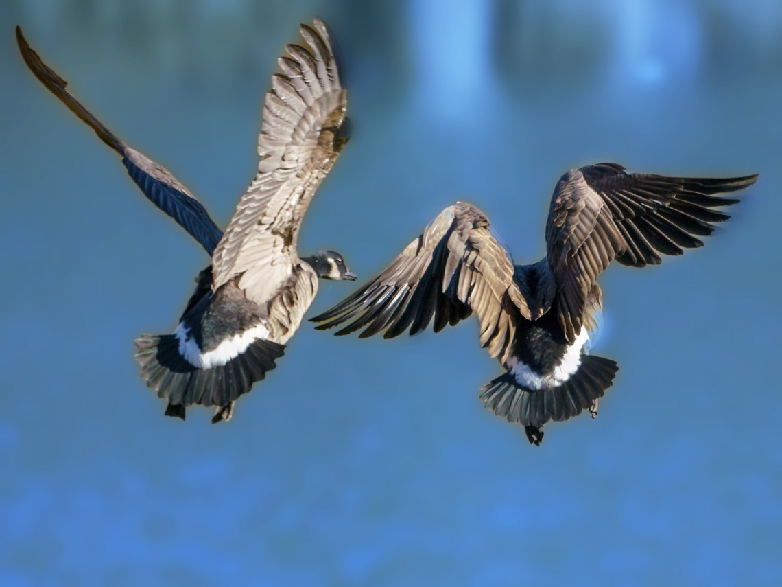 Seven things you never knew about Canada Geese, #2 of 2