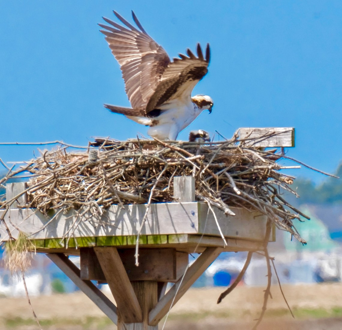 Daddy Osprey Brings Home the...?