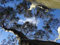 Contreucalyptus