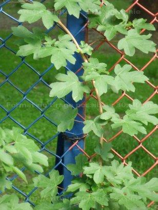 Dicho sous vert