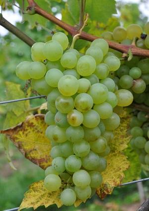 迪蜜雅-Dimiat-葡萄品種-紅酒世界網