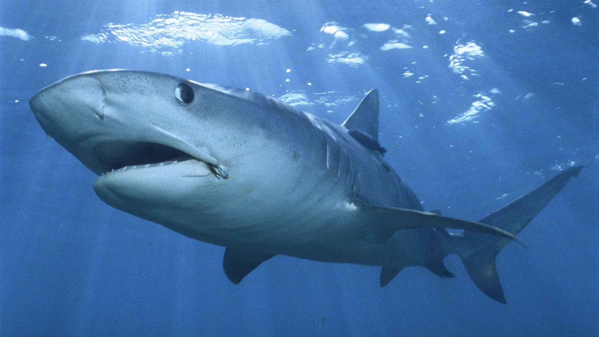鯊魚-無魚鰾,為了生存反成海洋霸主