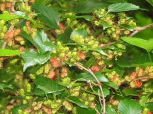An abundance of mulberries!