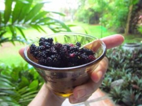 Eat your mulberries fresh