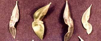 Trips del olivo o Arañuelo del olivo