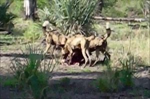 Bajaron los ataques de perros asilvestrados a rebaños en Artigas
