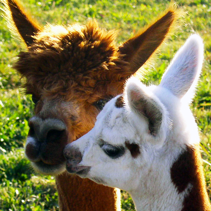 Mama alpaca with baby. Photography by L.E. Paulson