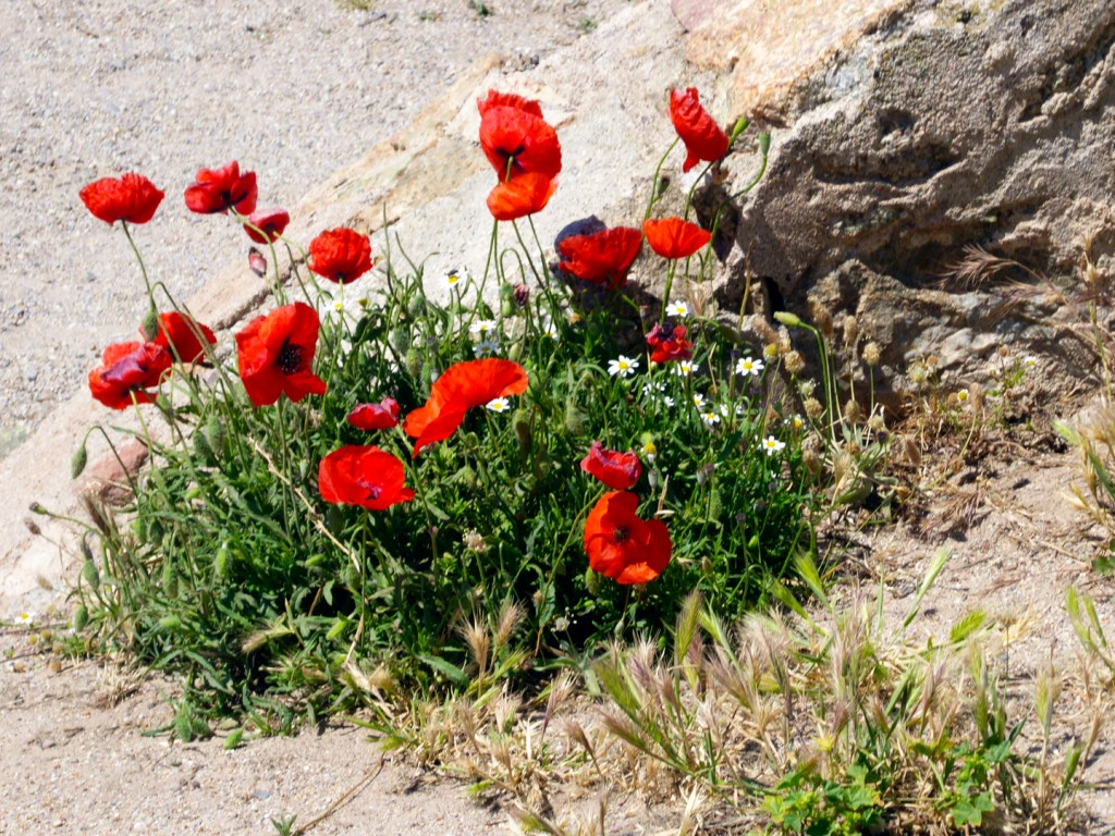 Red poppies on the Island of Corsica. Photography by L.E. Paulson