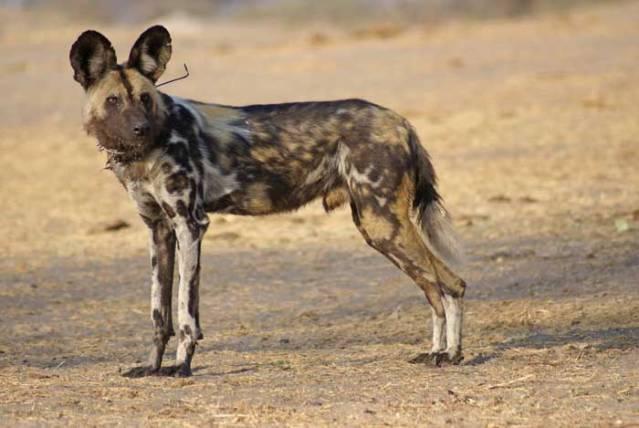 Painted Dog, Zimbabwe