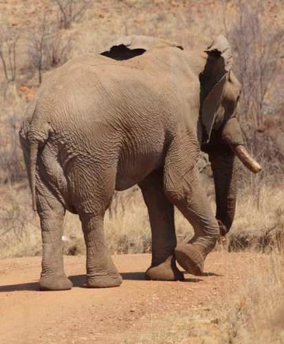 Elephant Sandwich - the 1st Bull.