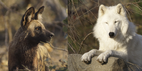 A painted dog (African wild dog) and an Arctic wolf.