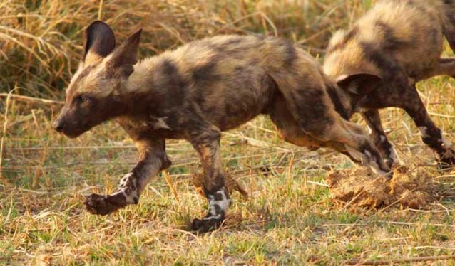 Painted Dog pups by Nigel Nicholls