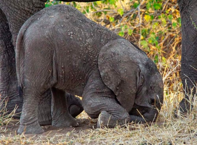 Another dead-end. Elephant Calf by Nigel Nicholls
