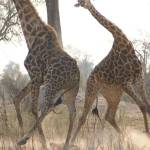Giraffes fighting photo by Alison Nicholls